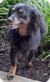 Dachshund Dog for adoption in Bridgeton, Missouri - Basil-Adoption pending