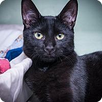 Adopt A Pet :: Sugar - New York, NY