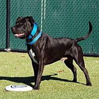 Adopt A Pet :: NIKO - Hampton Bays, NY