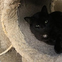 Domestic Shorthair Cat for adoption in Fremont, Ohio - Collin
