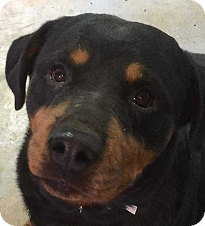 Rottweiler Mix Dog for adoption in Coopersburg, Pennsylvania - Hilda