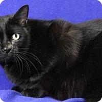 Adopt A Pet :: Shadow (Moorestown Petsmart) - Blackwood, NJ