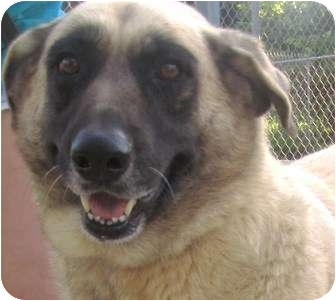 Anatolian Shepherd/Belgian Malinois Mix Dog for adoption in Key Biscayne, Florida - Ana