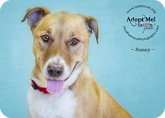 Labrador Retriever Mix Dog for adoption in Phoenix, Arizona - Sunny