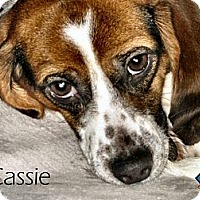 Adopt A Pet :: Cassie - Yardley, PA