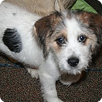 Adopt A Pet :: Sparky - Westfield, IN