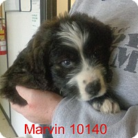 Adopt A Pet :: Marvin - baltimore, MD