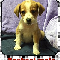 Adopt A Pet :: Ralphael (POM) - Harrisonburg, VA