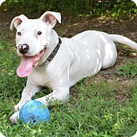 Pit Bull Terrier Mix Puppy for adoption in Mohegan Lake, New York - Ariel