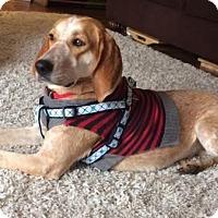 Adopt A Pet :: Amber - Millersville, MD