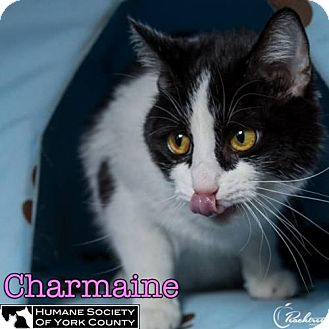 Domestic Shorthair Cat for adoption in Fort Mill, South Carolina - Charmaine