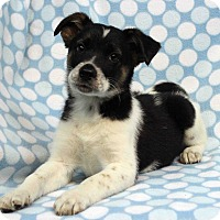 Adopt A Pet :: ABNER - Westminster, CO