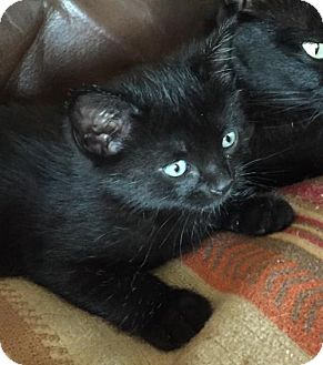 Domestic Shorthair Kitten for adoption in Dallas, Texas - Turbo
