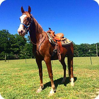 Quarterhorse/Tennessee Walking Horse Mix for adoption in Centerville, Tennessee - Samson