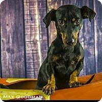 Adopt A Pet :: Billie - Pearland, TX