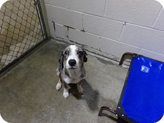 Blue Heeler Mix Dog for adoption in Osceola, Arkansas - NATE