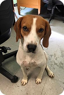 Hound (Unknown Type)/Beagle Mix Dog for adoption in Colonial Heights animal shelter, Virginia - Rosco