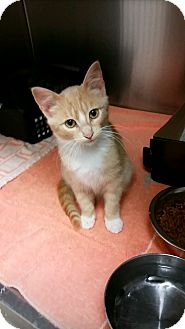 Domestic Shorthair Kitten for adoption in Chippewa Falls, Wisconsin - Finley