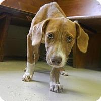 Adopt A Pet :: Moroco - Randleman, NC