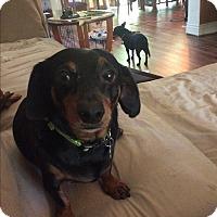 Dachshund Mix Dog for adoption in Grand Rapids, Michigan - Buddy