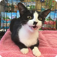 Domestic Shorthair Kitten for adoption in Gilbert, Arizona - Dutchess Betty Marie