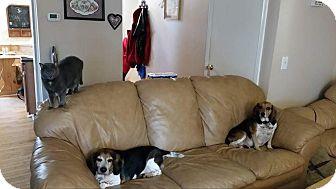 Beagle/Basset Hound Mix Dog for adoption in Baltimore, Maryland - Charlie (COURTESY POST)