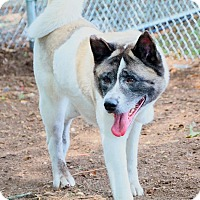 Akita Mix Dog for adoption in Brookhaven, New York - Nori