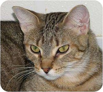 Domestic Shorthair Cat for adoption in Woodstock, Illinois - Pop Tart