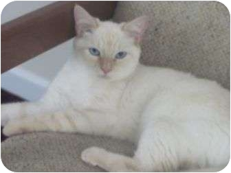 Siamese Cat for adoption in Port Republic, Maryland - Ali/Kit