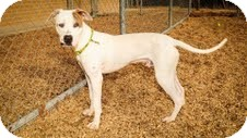 American Staffordshire Terrier Mix Dog for adoption in Justin, Texas - Scooby