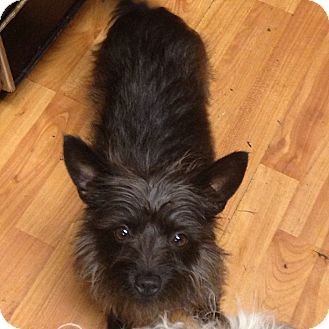 Yorkie, Yorkshire Terrier/Cairn Terrier Mix Dog for adoption in Hazard, Kentucky - Toto
