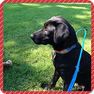 Labrador Retriever/Spaniel (Unknown Type) Mix Dog for adoption in CHICAGO, Illinois - TUCKER