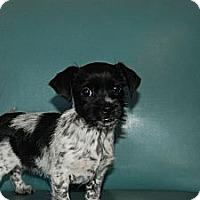 Adopt A Pet :: Mayla - Albany, NY