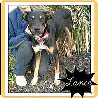Adopt A Pet :: Lance - Arlington, TX