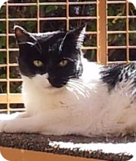 Domestic Shorthair Cat for adoption in Mountain Center, California - Lane