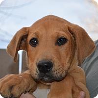 Adopt A Pet :: Dewey - Westminster, CO