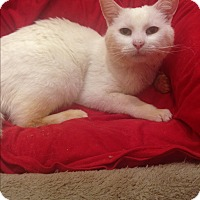 Domestic Shorthair Cat for adoption in Los Angeles, California - Simon
