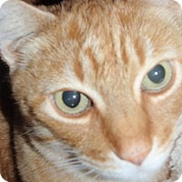 Domestic Shorthair Cat for adoption in Sacramento, California - Cyrus