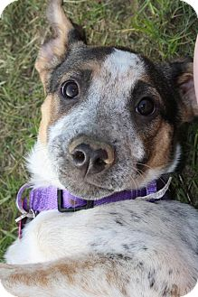 Shepherd (Unknown Type)/Husky Mix Puppy for adoption in Pembroke, New York - LULA MAE
