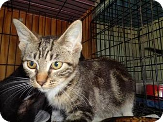 Domestic Shorthair Kitten for adoption in Breinigsville, Pennsylvania - Paris
