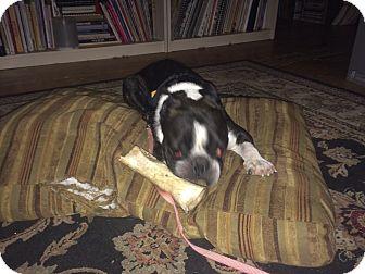 Boston Terrier/French Bulldog Mix Dog for adoption in Bennington, Vermont - Bulldog x Boston