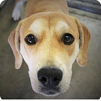 Adopt A Pet :: DANCER - Red Bluff, CA