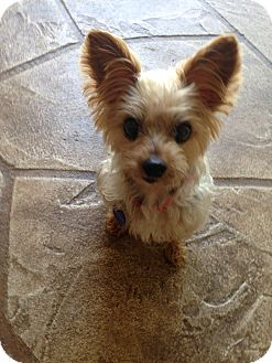 Yorkie, Yorkshire Terrier Dog for adoption in North Port, Florida - Lily
