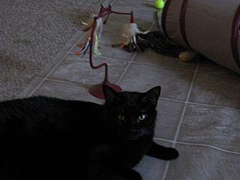 Domestic Shorthair Cat for adoption in Quincy, Massachusetts - Rodney