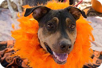 Doberman Pinscher Mix Dog for adoption in Phoenix, Arizona - SADIE