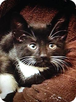 Domestic Shorthair Kitten for adoption in East Brunswick, New Jersey - Cupid