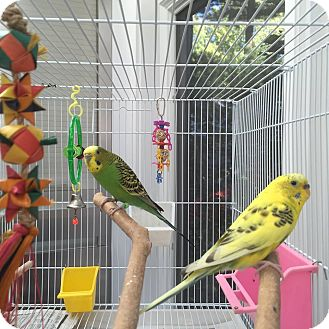 Parakeet - Other for adoption in Stratford, Connecticut - Lemon and Lime