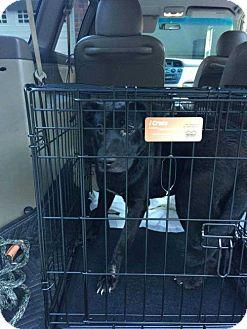 Labrador Retriever Puppy for adoption in Boston, Massachusetts - Capucine