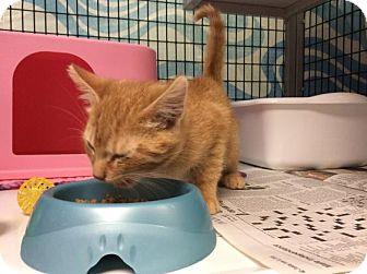 Domestic Shorthair Kitten for adoption in Janesville, Wisconsin - Jareth the Goblin King