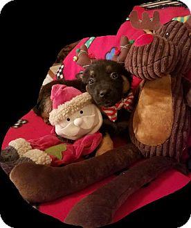 German Shepherd Dog/Rottweiler Mix Puppy for adoption in Detroit, Michigan - Kringle